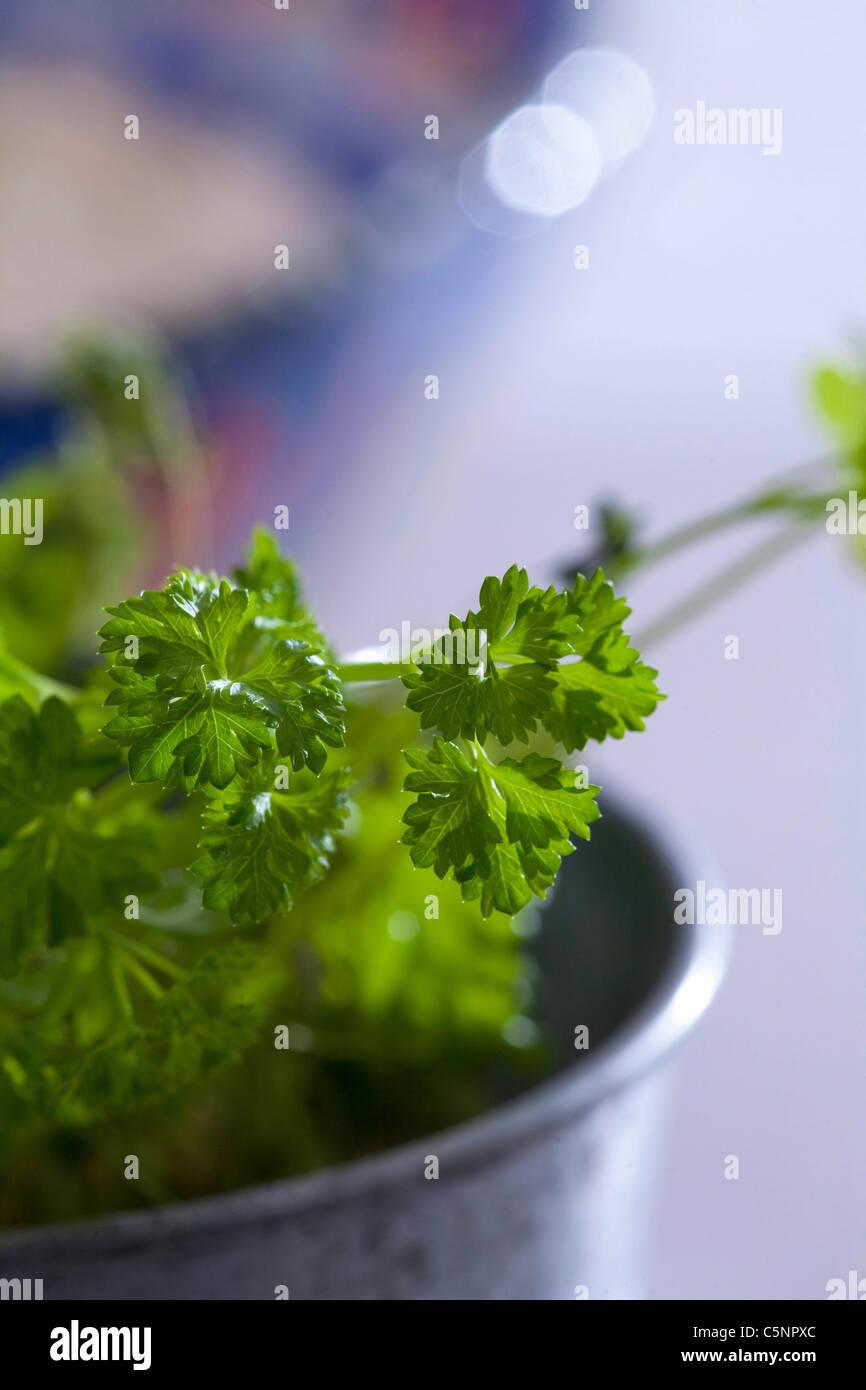 Fresh parsley - Stock Image