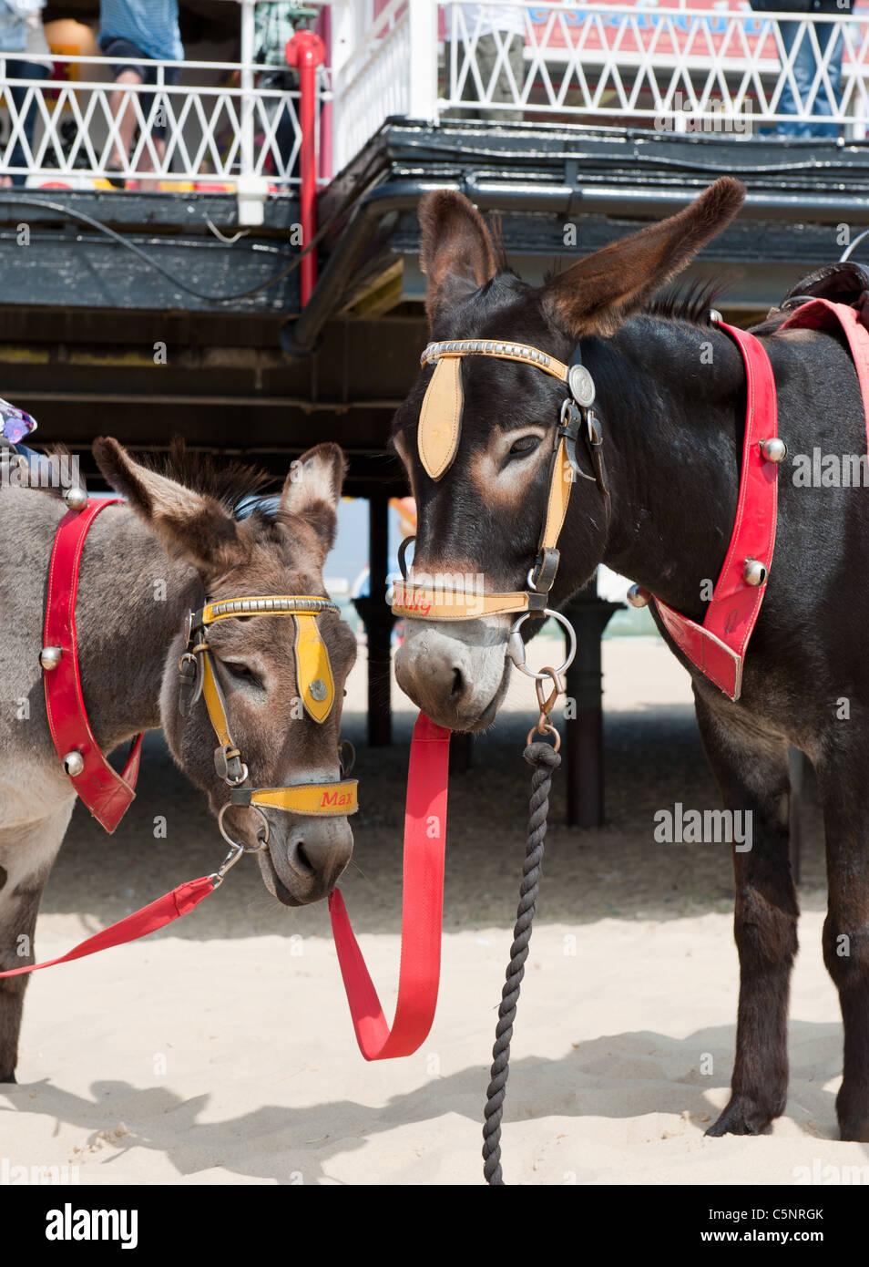 Seaside attraction Donkey Rides UK holiday - Stock Image