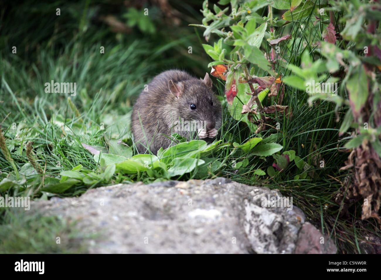 Brown Rat (Rattus norvegicus) eating scrap of food near riverbank run - Stock Image