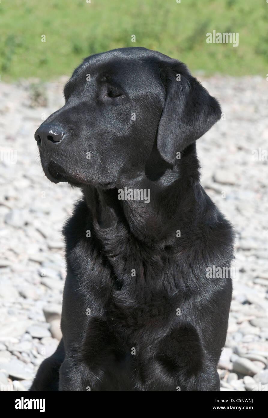 Black Labrador Retriever, hunting gun dog - Stock Image
