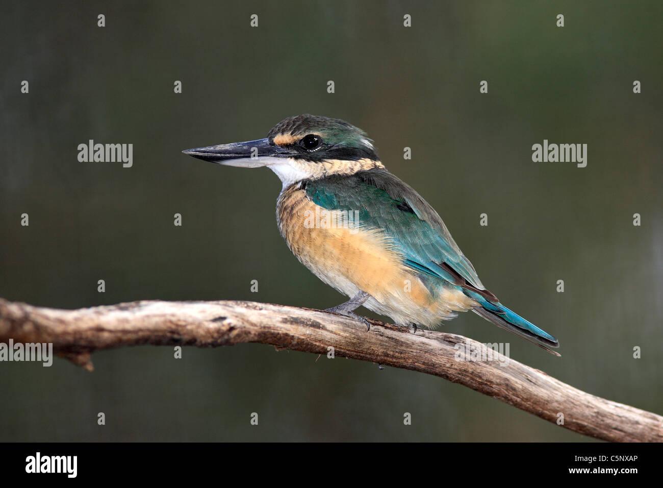 Sacred Kingfisher,Todiramphus sanctus, also known as Halcyon sancta. Dubbo, NSW, Australia - Stock Image