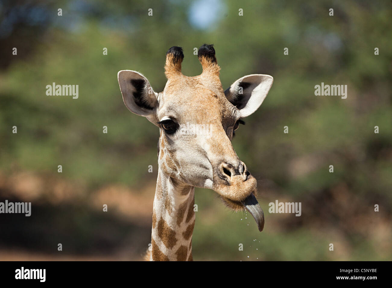 Giraffe sticking out tongue - Stock Image