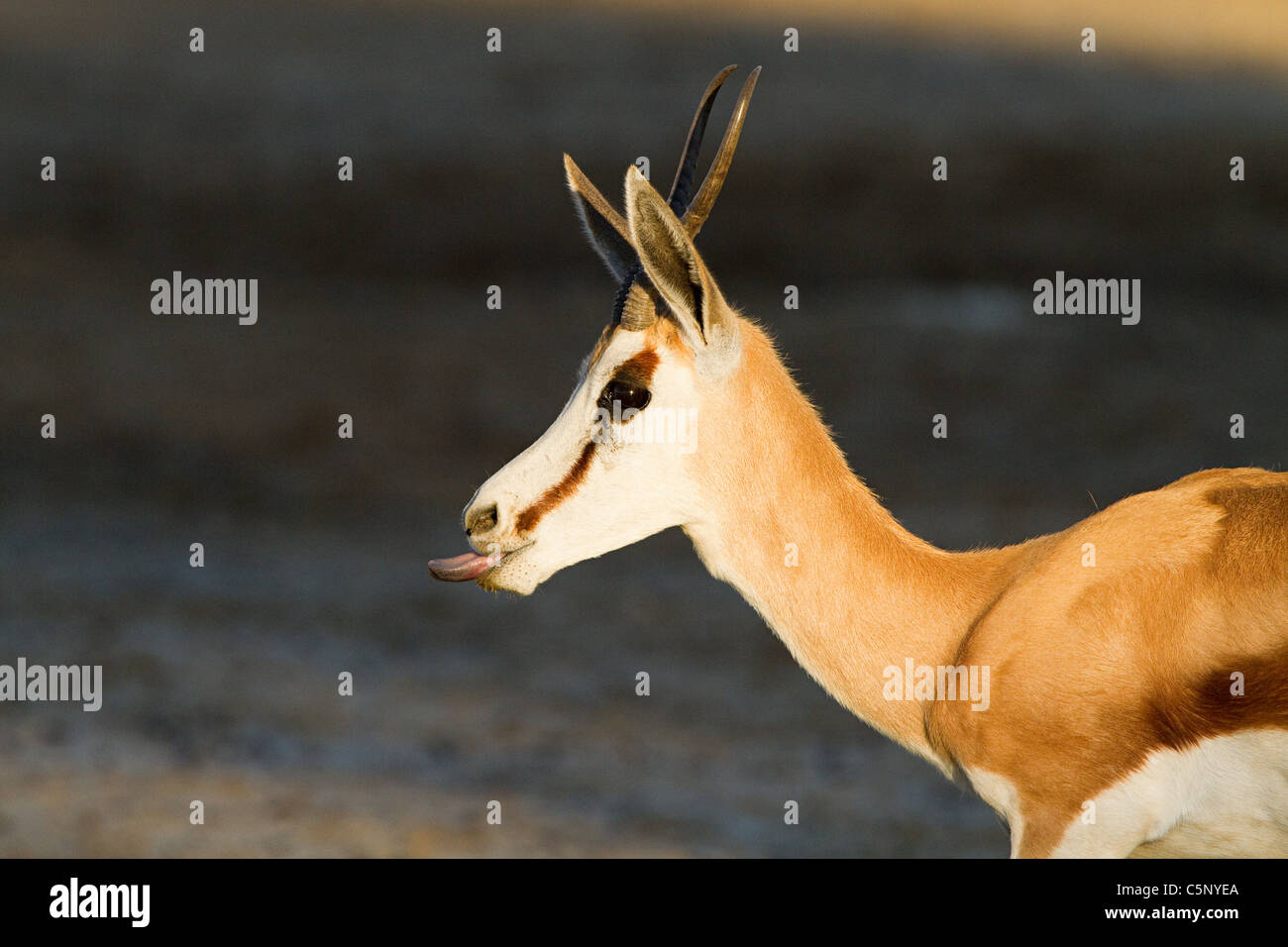 Springbok sticking out tongue - Stock Image
