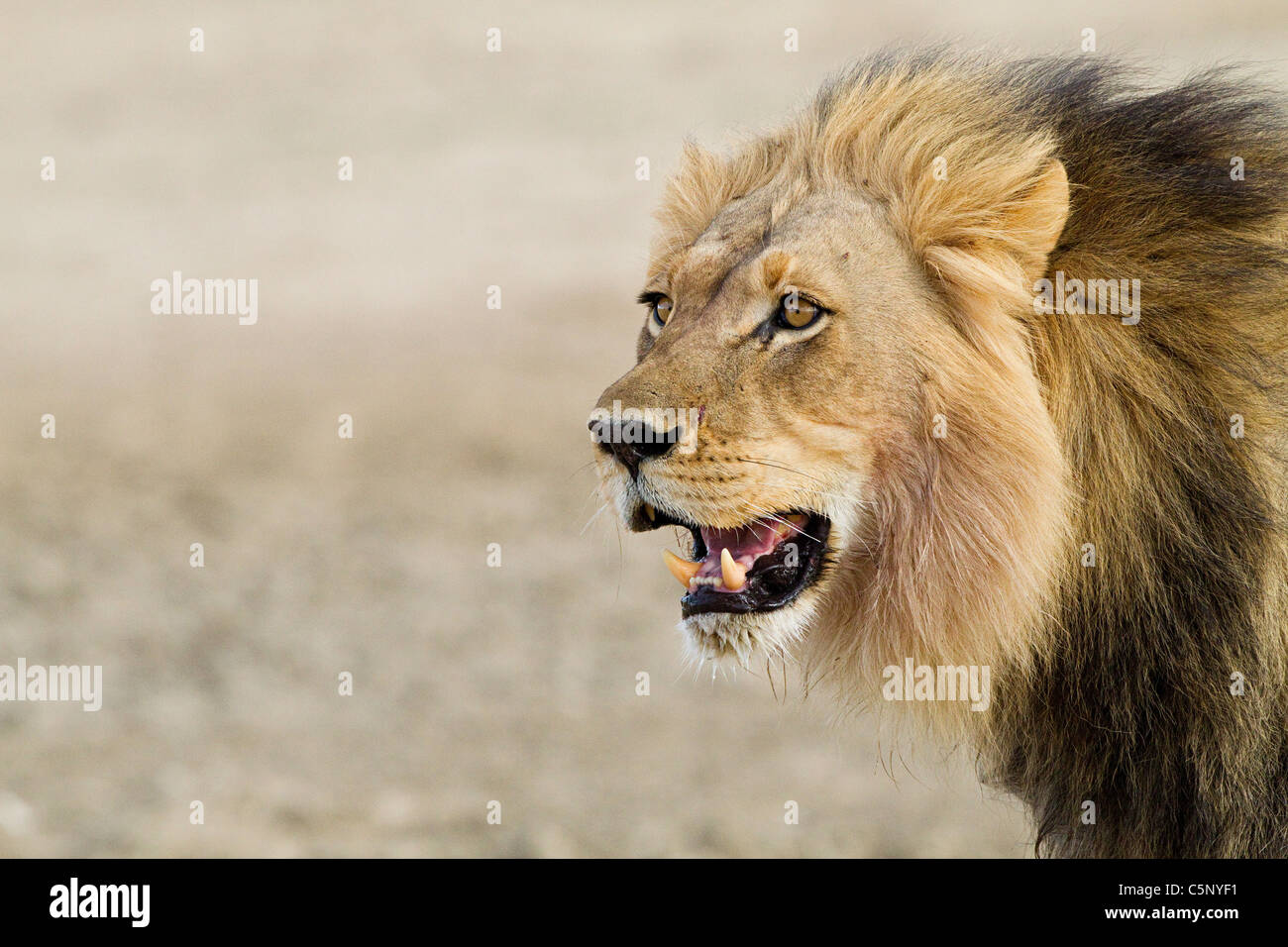 Male African lion, head shot - Stock Image