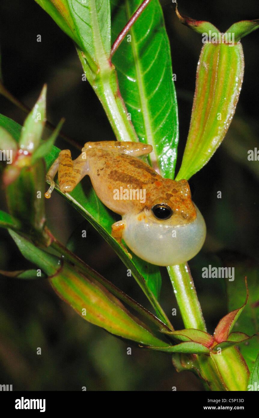 Male Common Shrub Frog (philautus popularis) calling in the Sinharaja Rain Forest, Sri Lanka - Stock Image