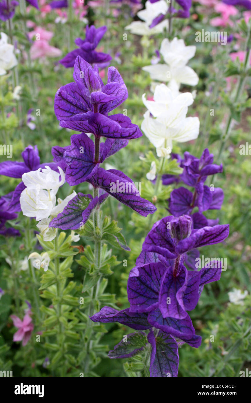 Colourful Purple And White Cottage Garden Plants Annual