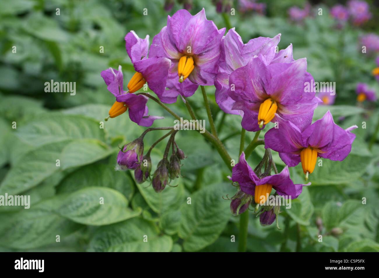 Potato Flowers Solanum tuberosum - Stock Image