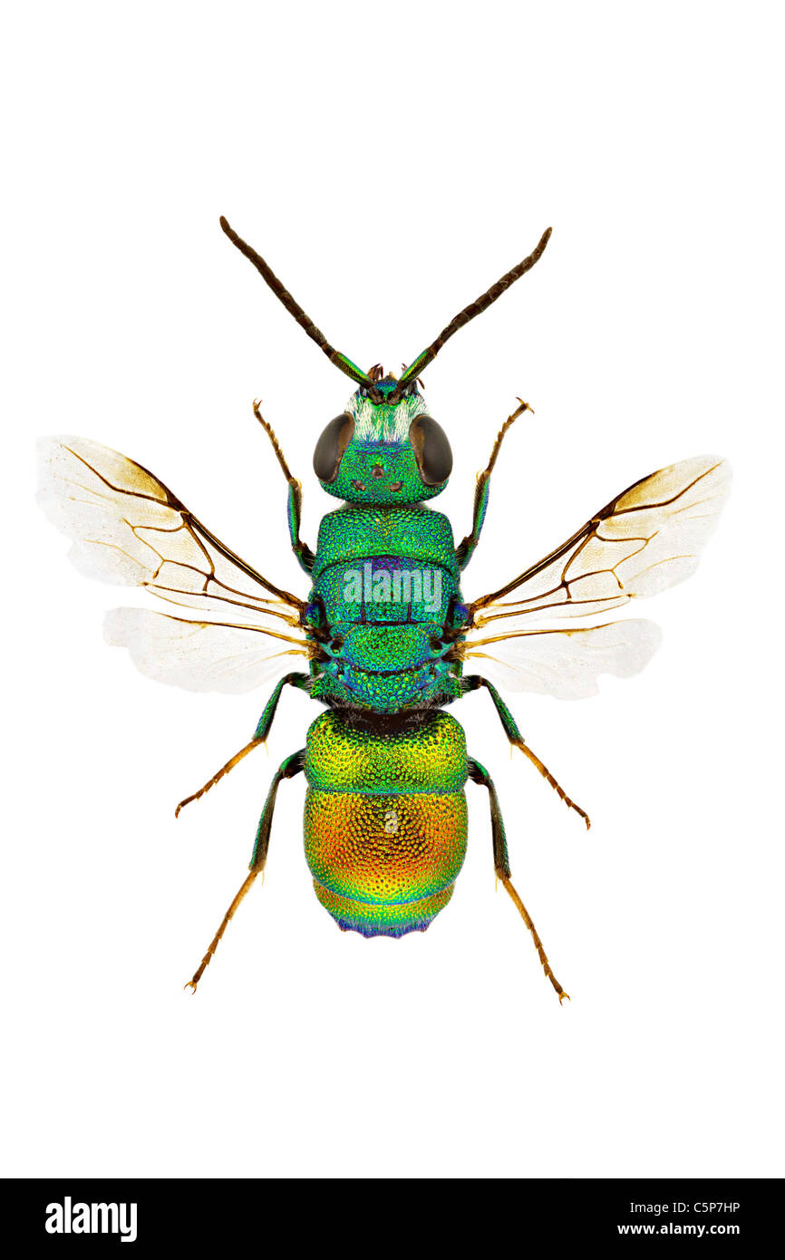 Macro of Chrysis marginata isolated on white background. - Stock Image