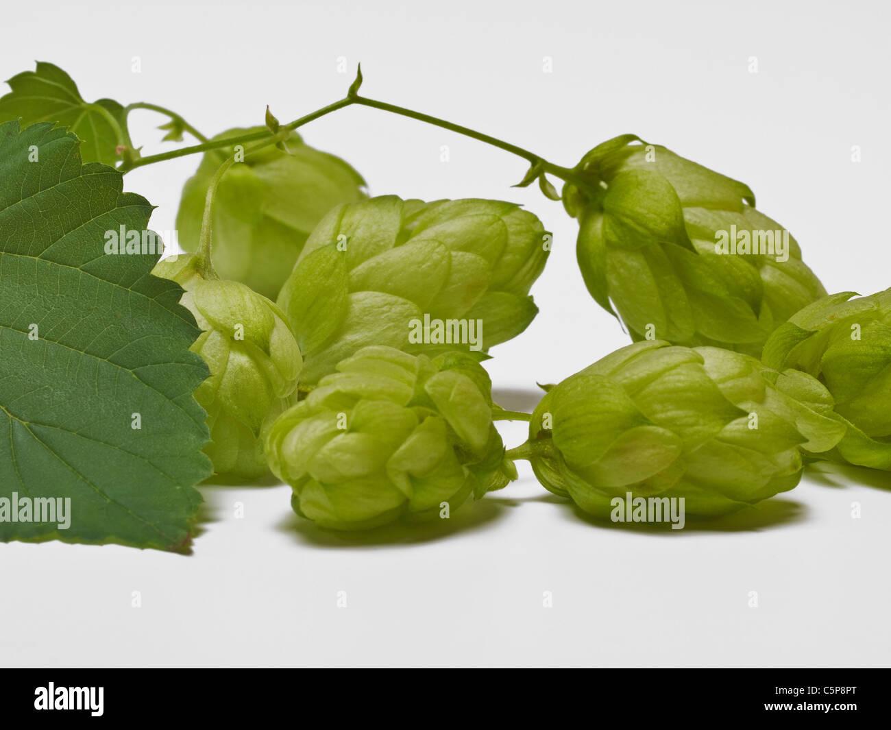 Detailansicht einer Hopfenpflanze | Detail photo of a hop plant - Stock Image