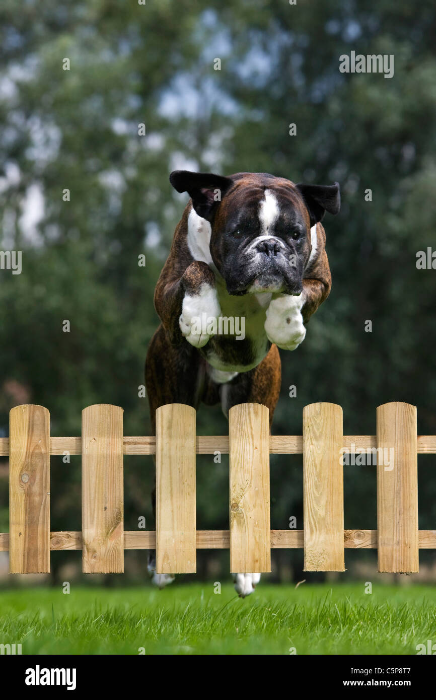 Boxer dog (Canis lupus familiaris) jumping over wooden garden fence - Stock Image