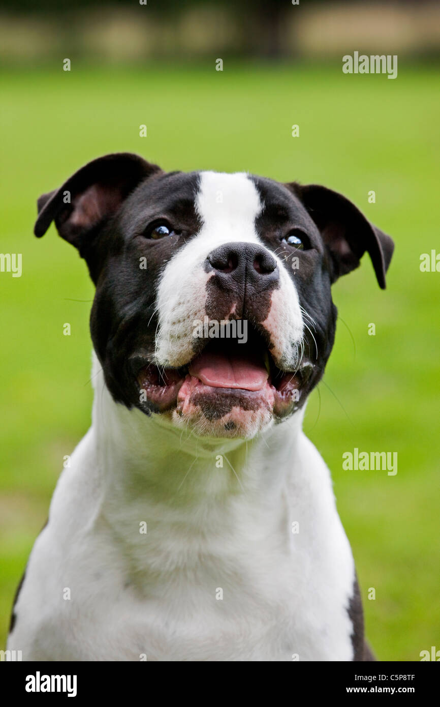 American Staffordshire terrier (Canis lupus familiaris) on lawn in garden Stock Photo