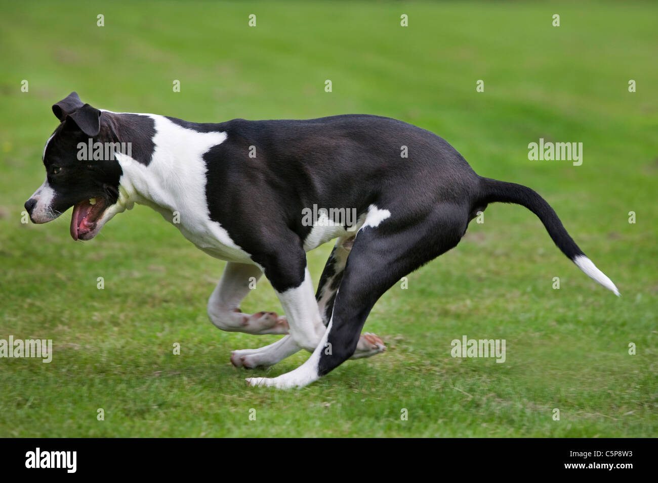 American Staffordshire terrier (Canis lupus familiaris) running on lawn in garden - Stock Image