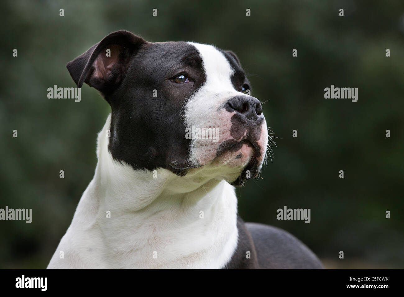 American Staffordshire terrier (Canis lupus familiaris) lying on lawn in garden - Stock Image