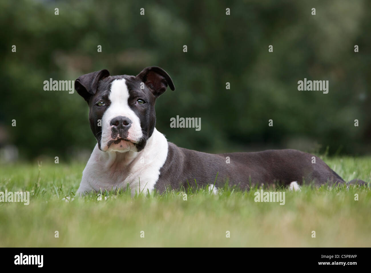 American Staffordshire terrier (Canis lupus familiaris) lying on lawn in garden Stock Photo