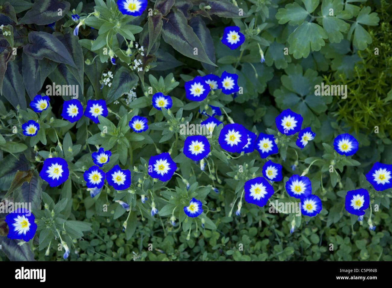 Morning Glories, Brooklyn Botanic Garden, Brooklyn, NY. - Stock Image