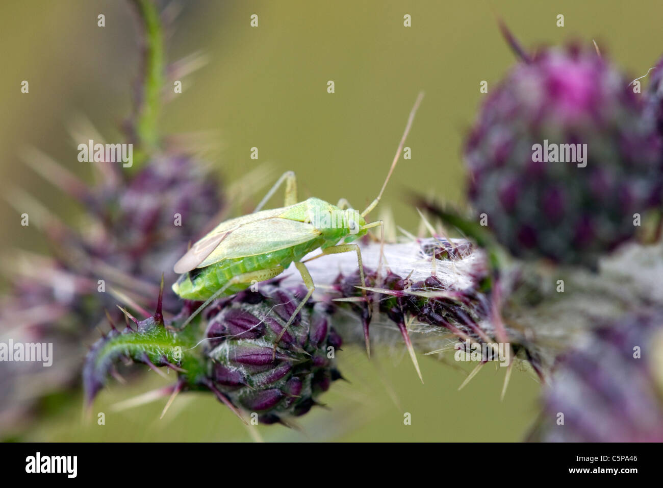 Common Green Capsid; Lygocoris pabulinus; Cornwall; UK - Stock Image