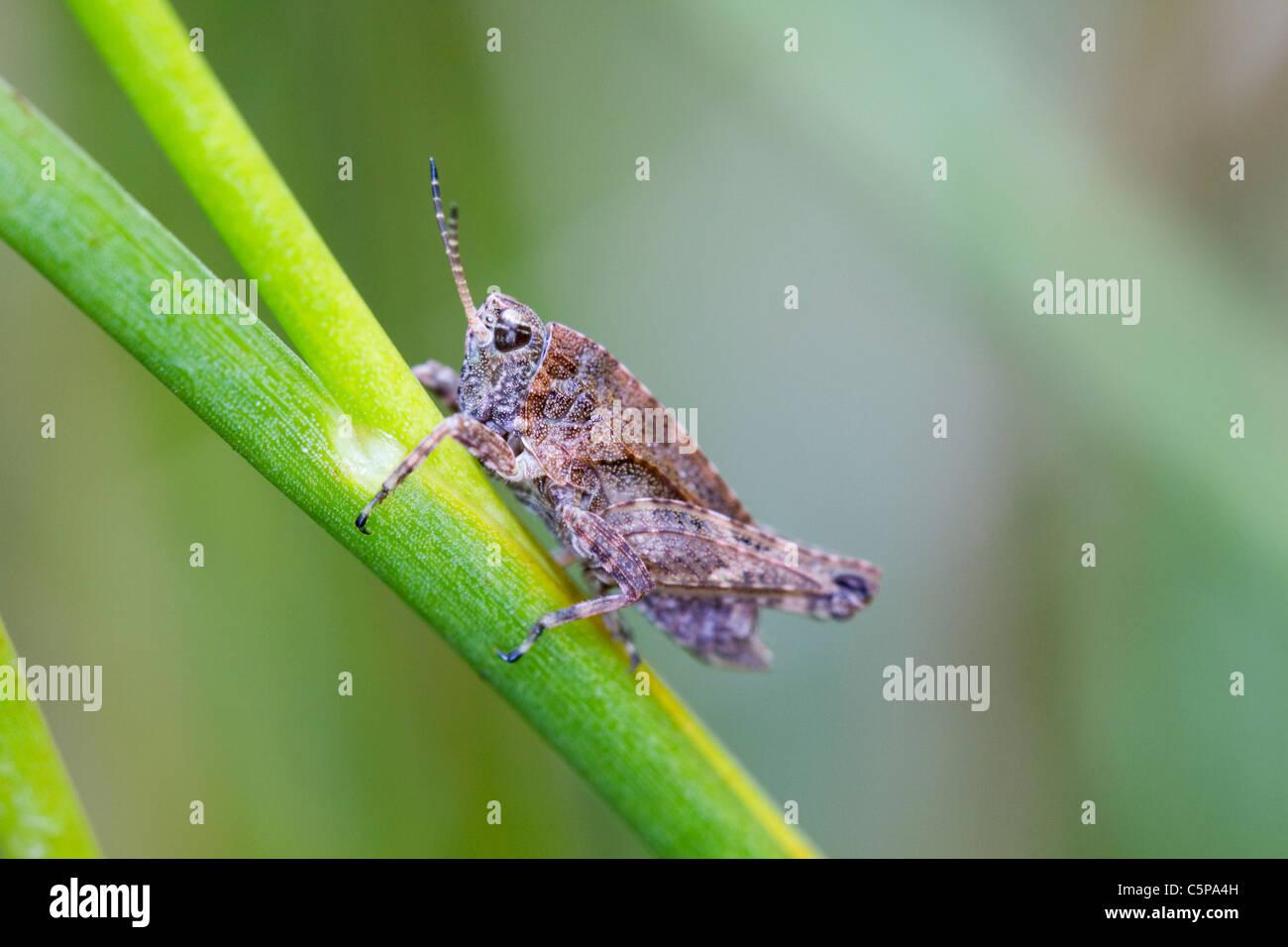 Common Groundhopper; Tetrix undulata; Cornwall; UK - Stock Image