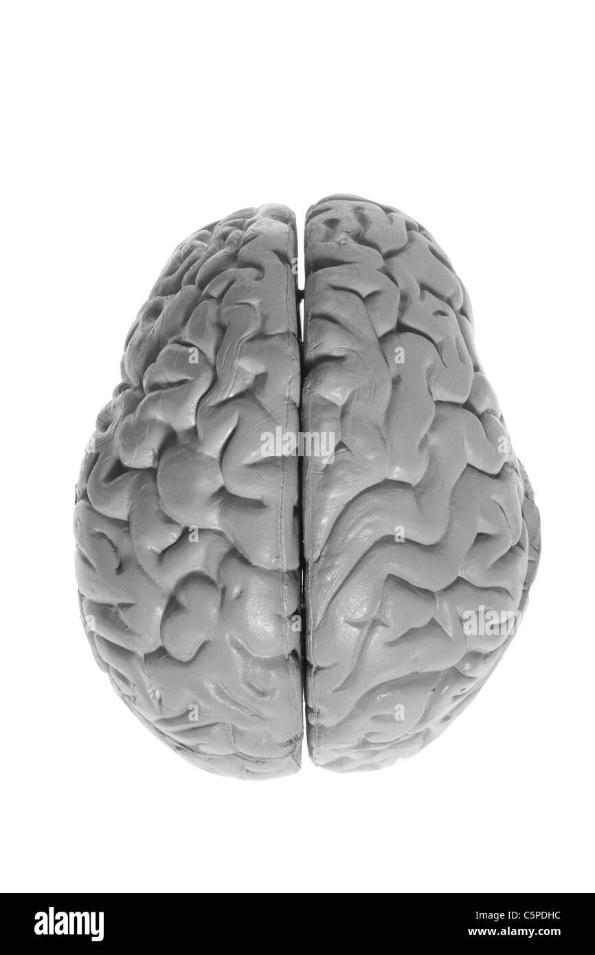 Brain Specimen - Stock Image
