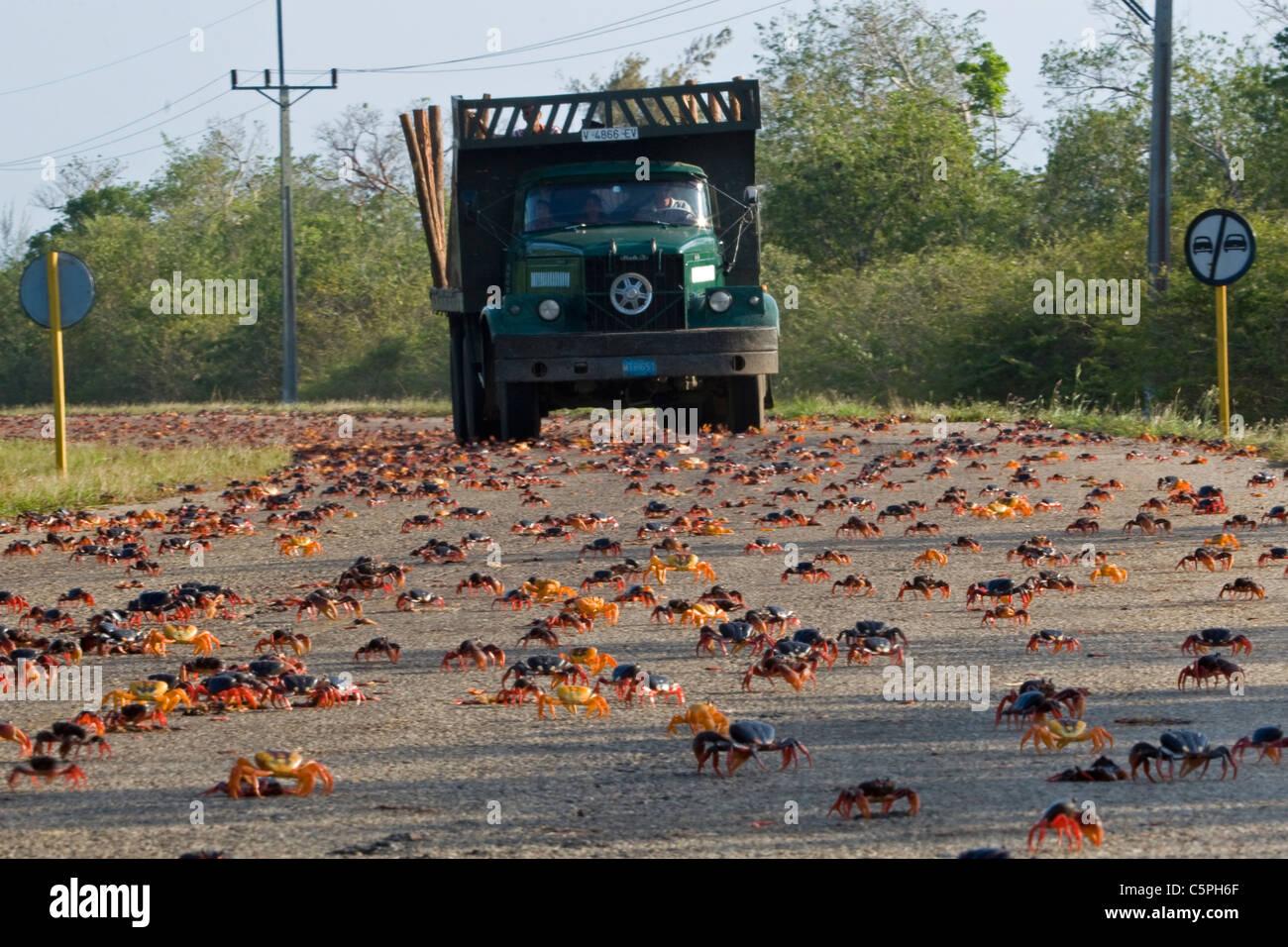 Black Land crabs, Gecarcinus ruricola, migration on the road Playa Girn, Bay of Pigs, Cuba - Stock Image