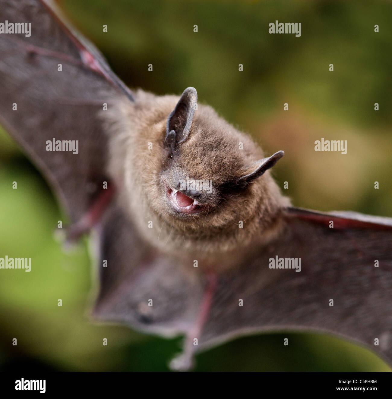 common pipistrelle bat pipistrellus pipistrellus pipistrelles are