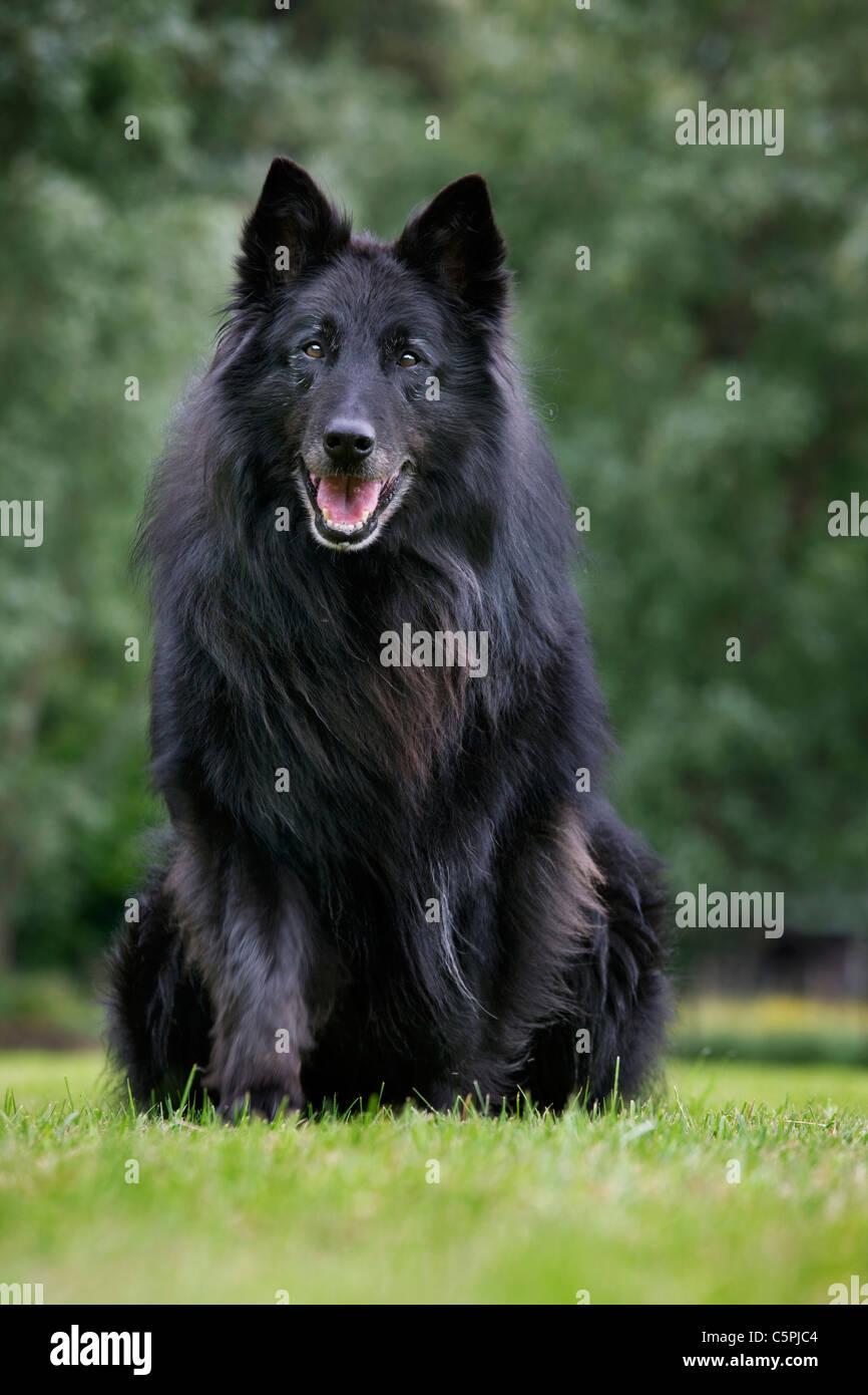 black-belgian-shepherd-dog-groenendael-canis-lupus-familiaris-sitting-C5PJC4.jpg