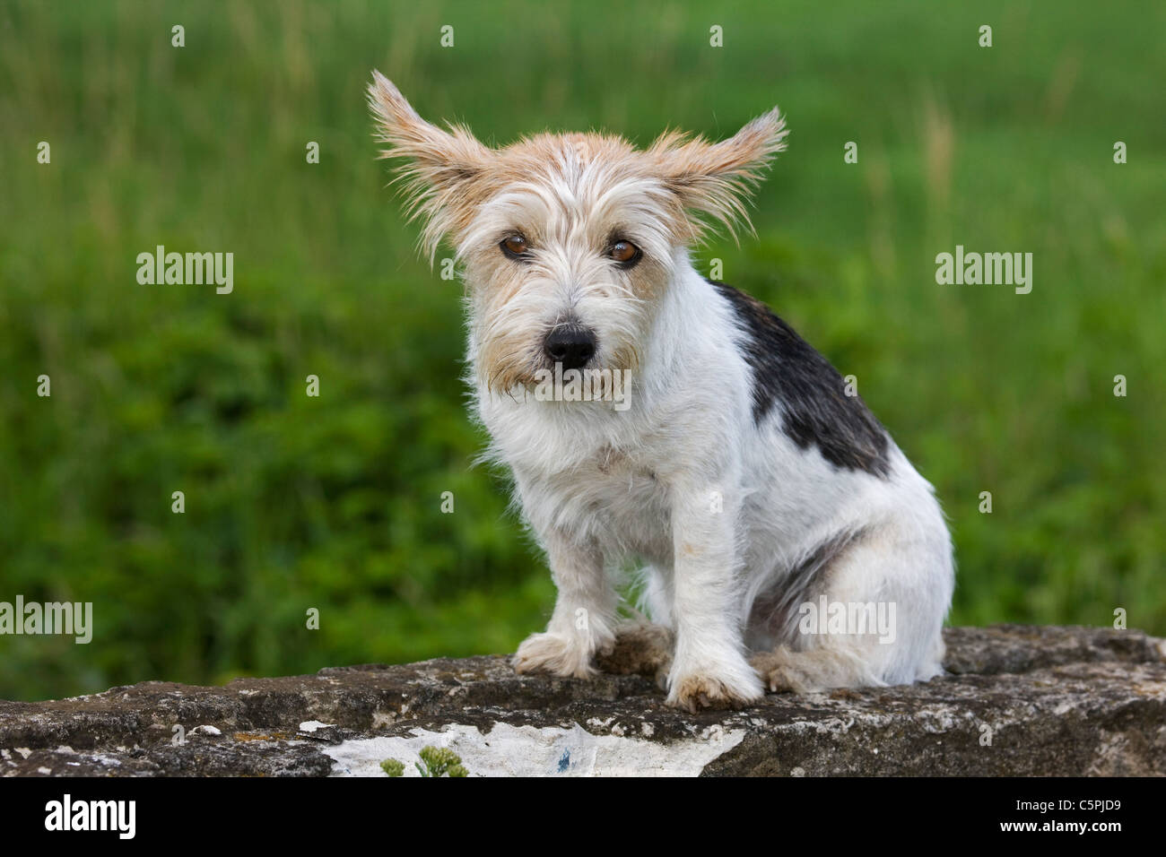 Rough-coated Jack Russell terrier (Canis lupus familiaris) in garden - Stock Image