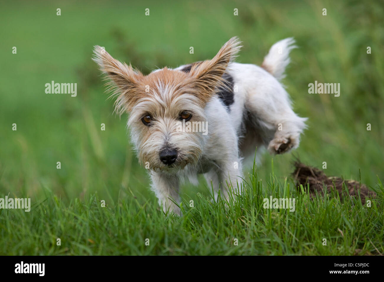 Rough-coated Jack Russell terrier (Canis lupus familiaris) running in field - Stock Image