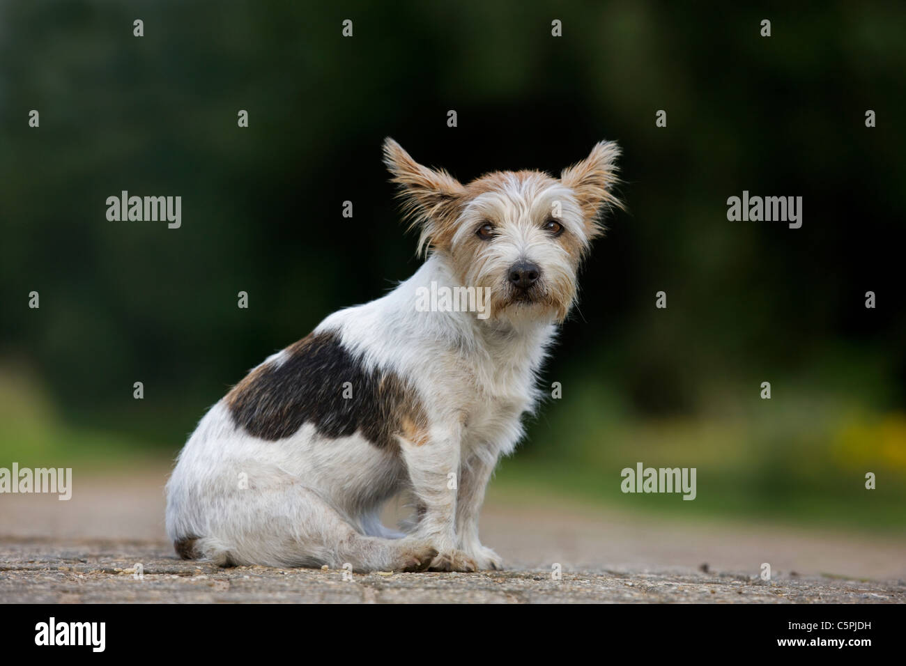 Rough-coated Jack Russell terrier (Canis lupus familiaris) sitting on path - Stock Image