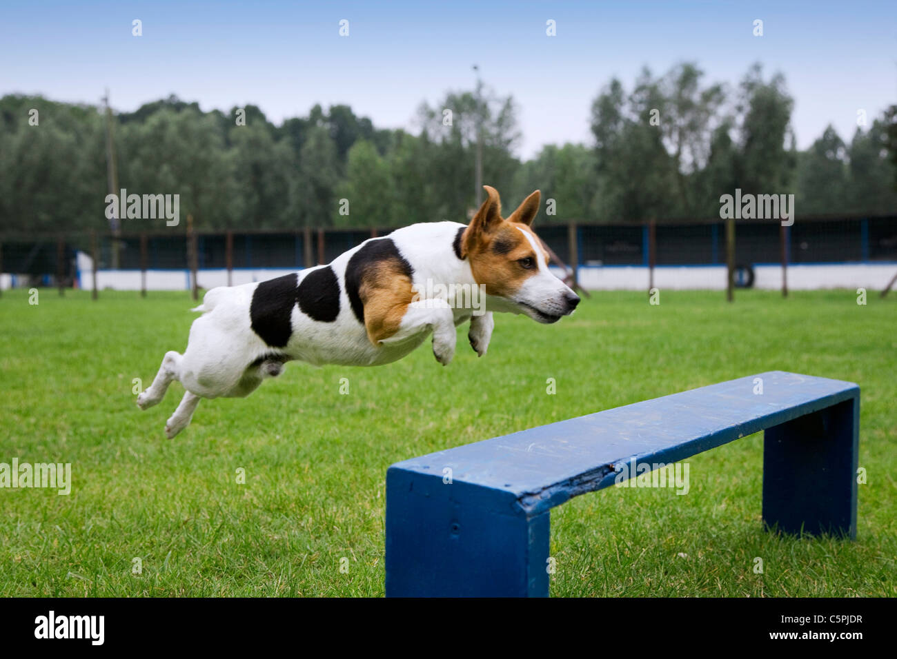 Smooth coated Jack Russell terrier (Canis lupus familiaris) running and jumping at obstacle course in dog training - Stock Image
