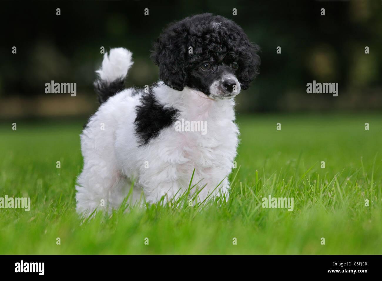 Black And White Miniature Poodle Dog Stock Photos & Black