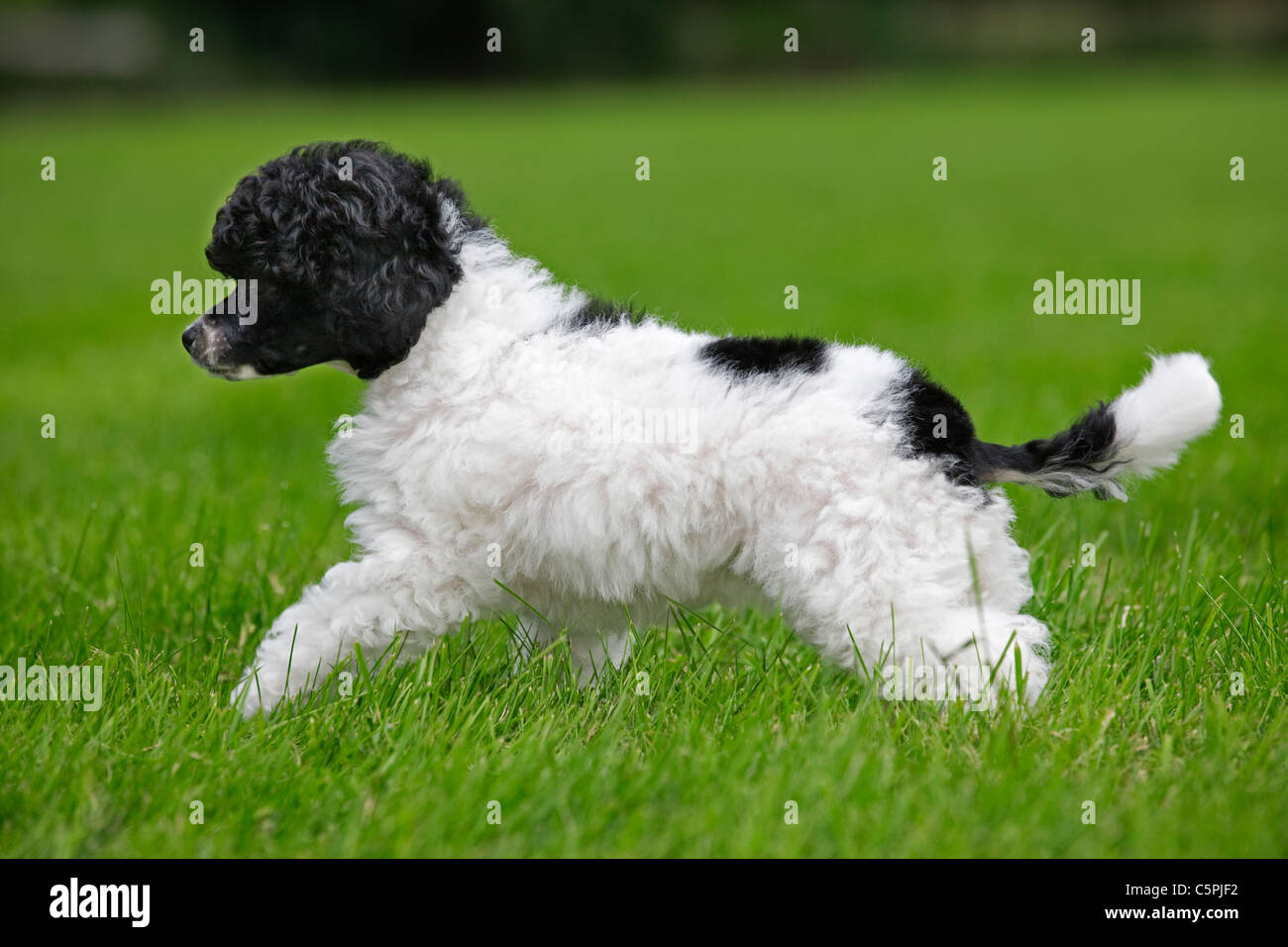 Black and white Miniature / Dwarf / Nain poodle (Canis lupus familiaris) in garden - Stock Image