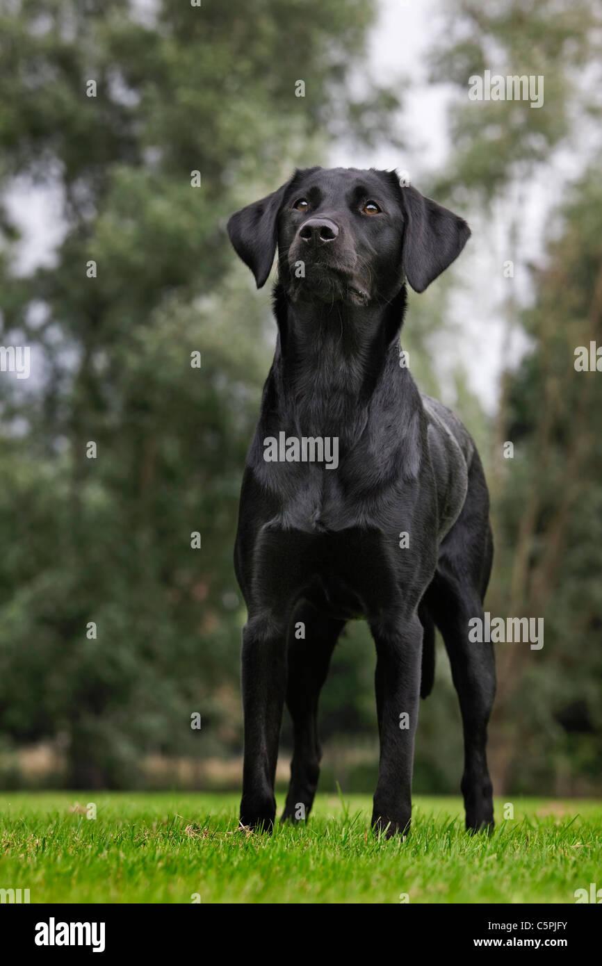 Black Labrador (Canis lupus familiaris) in park - Stock Image