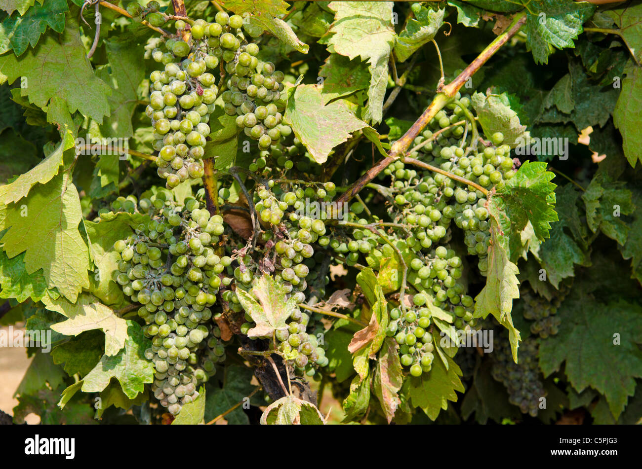 Untreated powdery mildew fungal infestation in grapes Erysiphe necator - Stock Image