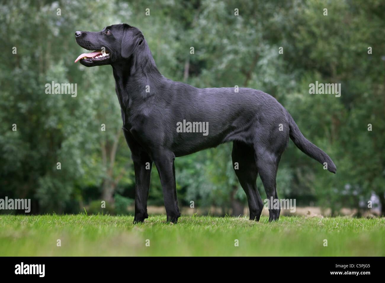 Black Labrador (Canis lupus familiaris) in garden - Stock Image