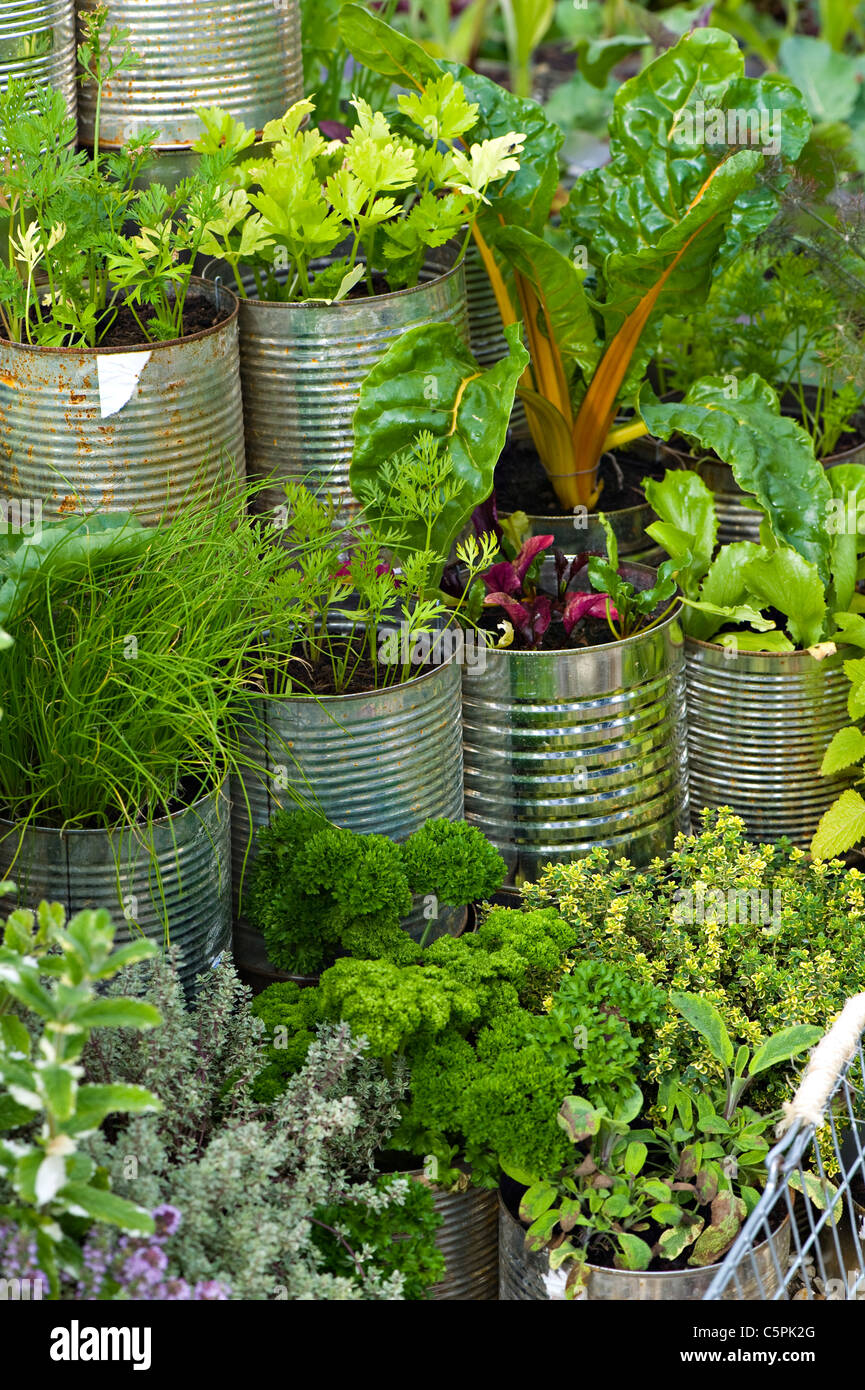 A selection of different herbs grown in tin cans - Stock Image