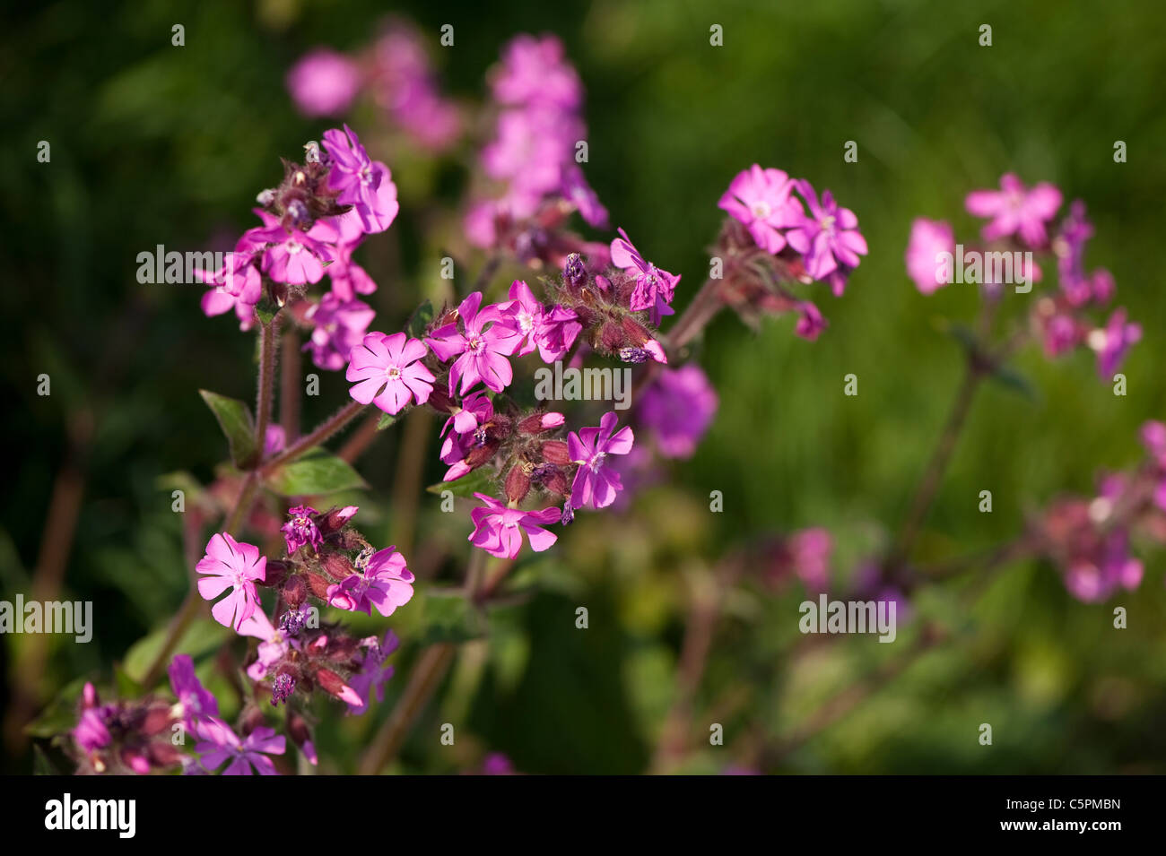 Red Campion, Silene dioica, in flower Stock Photo