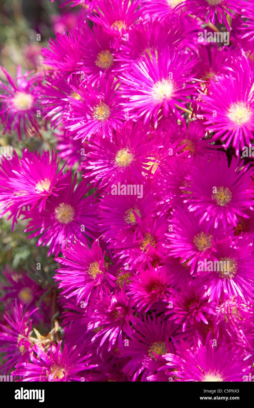 Shocking pink flowers in the spanish summer sun stock photo shocking pink flowers in the spanish summer sun mightylinksfo