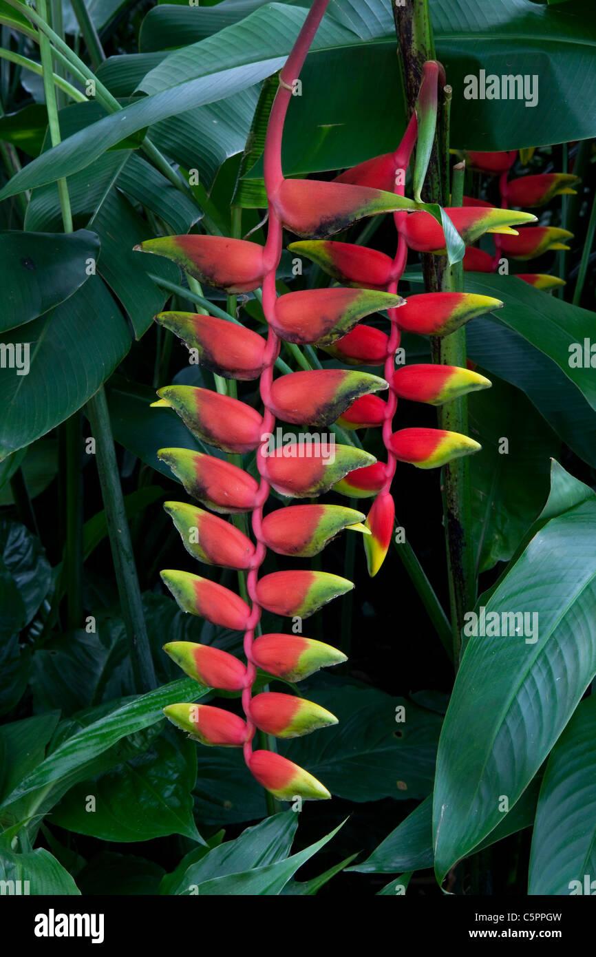 Heliconia pendula inflorescence, Botanic Garden, Singapore - Stock Image