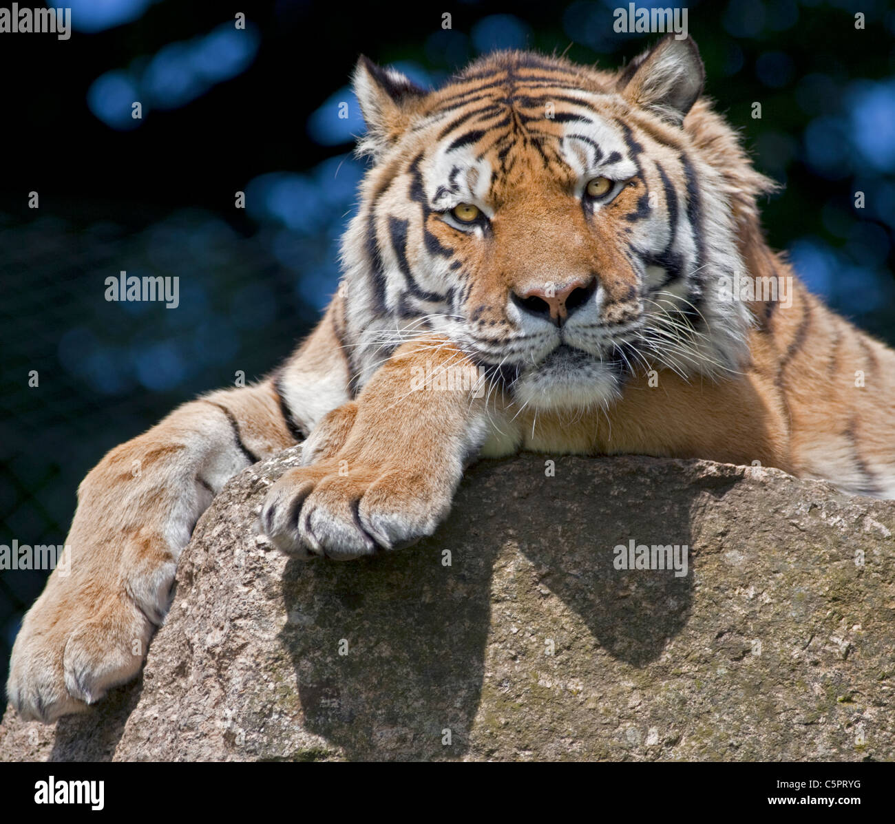 Amur Tiger/Siberian Tiger (panthera tigris altaica) Stock Photo
