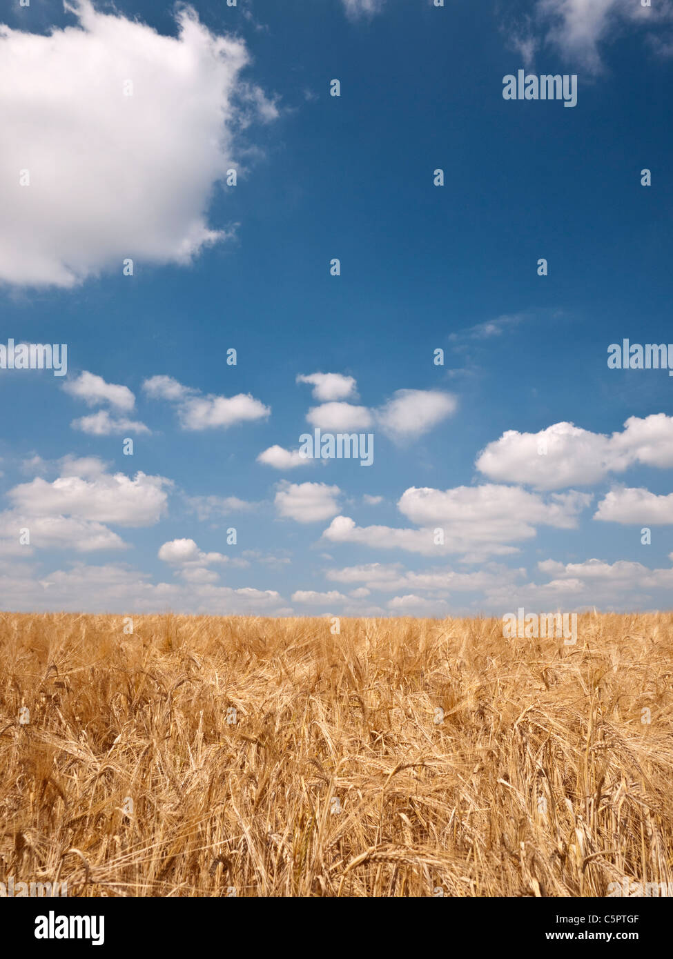 A field of crops under a blue sky in South Staffordshire during English summer - Stock Image