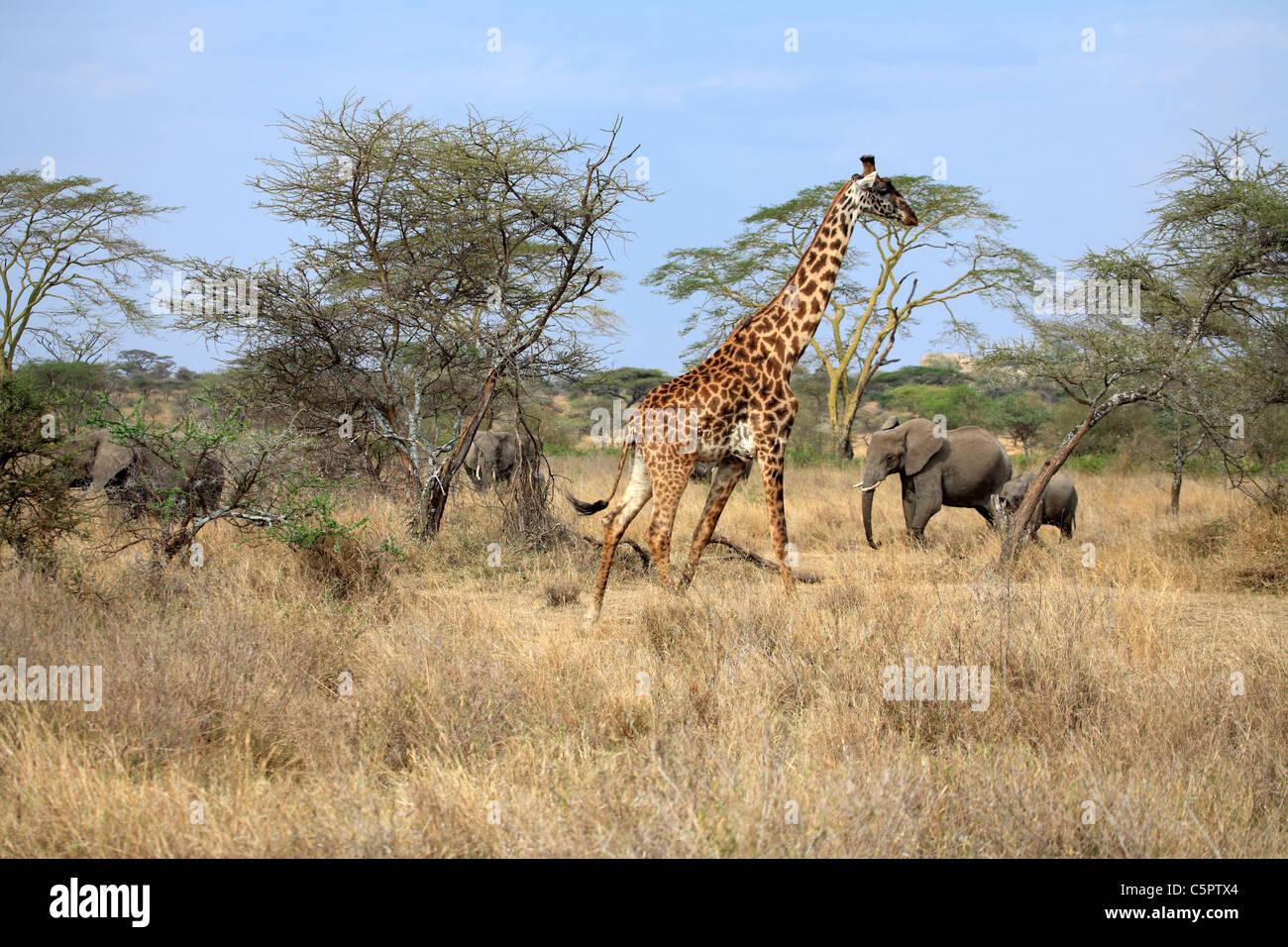 Serengeti National Park, Tanzania - Stock Image