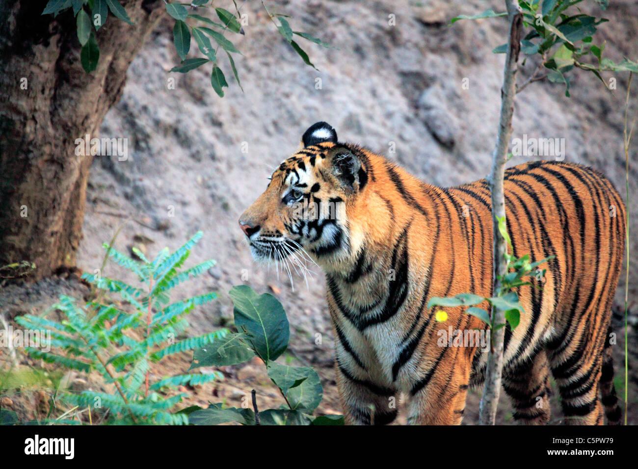 Royal Bengal tiger (Panthera tigris tigris), Bandhavgarh national park, Madhya Pradesh, India - Stock Image