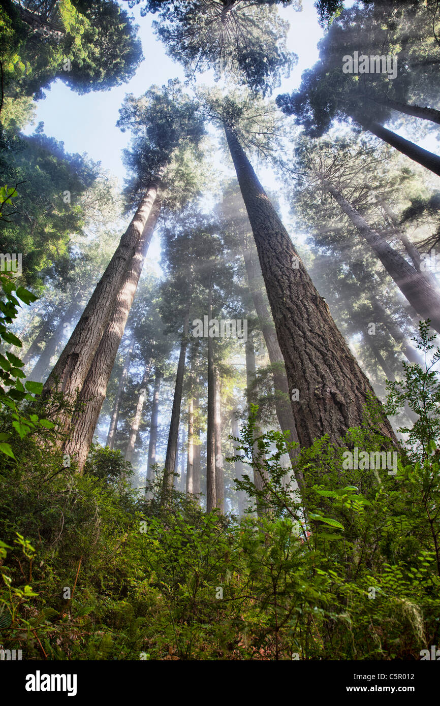 Redwoods on the Damnation Creek Trail Colifornia USA - Stock Image