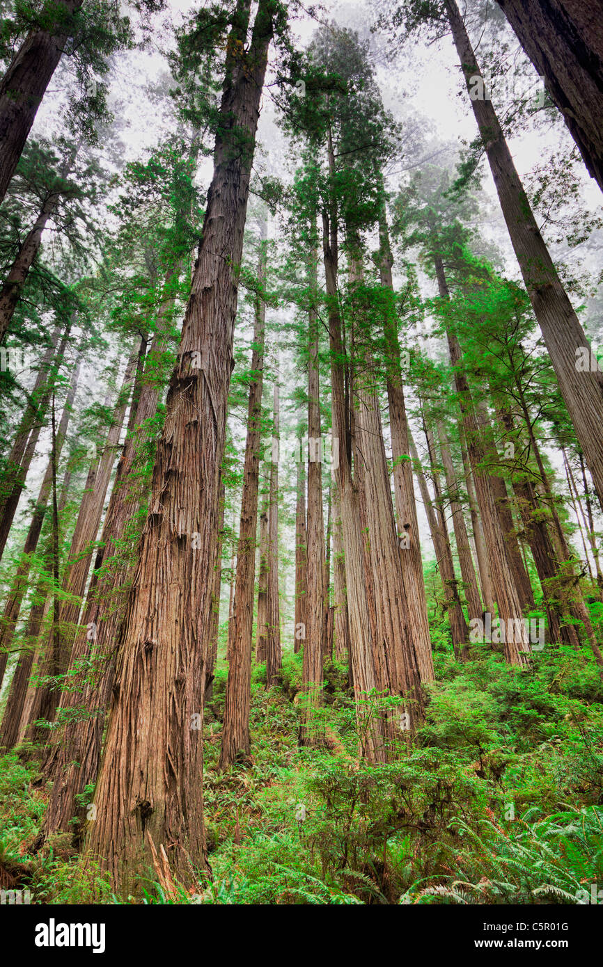 Redwoods on the Boy Scout Tree Trail Colifornia USA - Stock Image