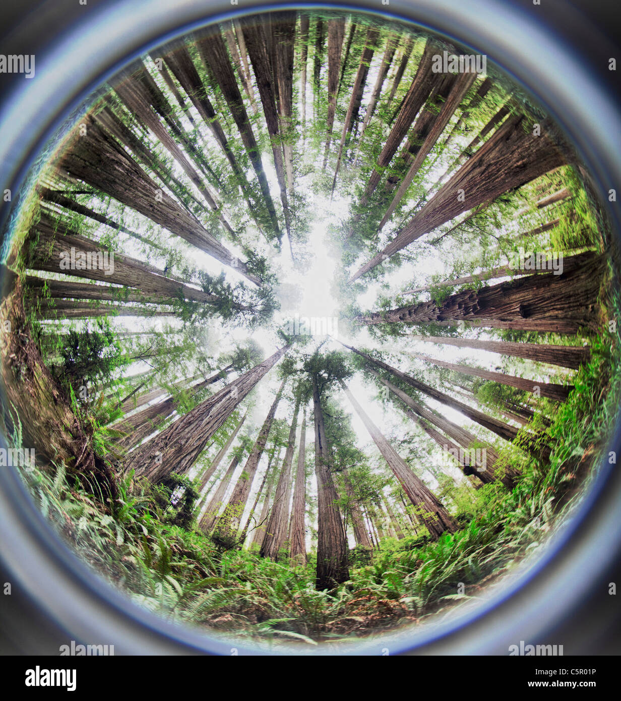 Fisheye image of giant Redwood trees on the Boy Scout Tree Trail California USA - Stock Image