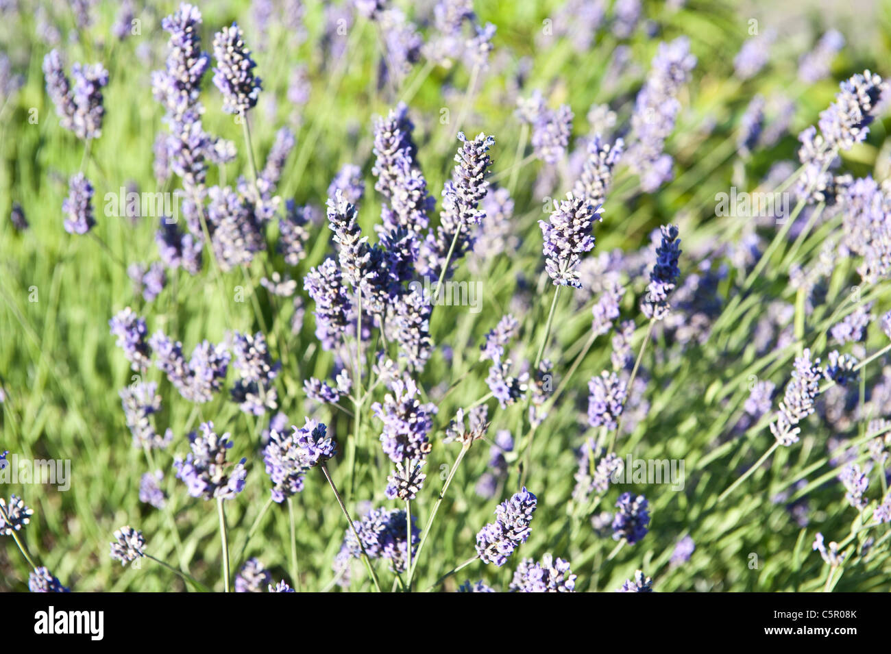 A close-up of thriving Common Heather, or Calluna vulgaris, in the english countryside. - Stock Image
