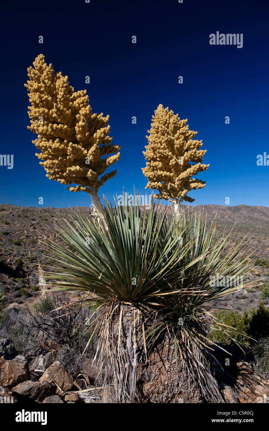Blooming Mojave yucca plant (Yucca schidigera), Joshua Tree National Park, California, United States of America - Stock Image