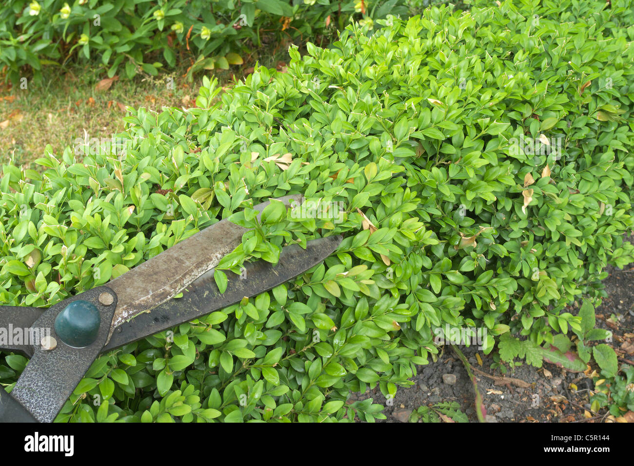 Clipping Box Hedging ( Buxus sempervirens ) with a pair of hedge shears, UK - Stock Image