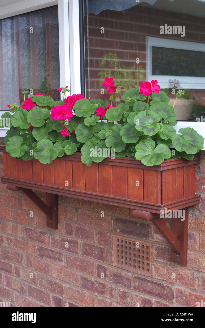 Wooden Window Box planted with Red Geraniums, UK - Stock Image