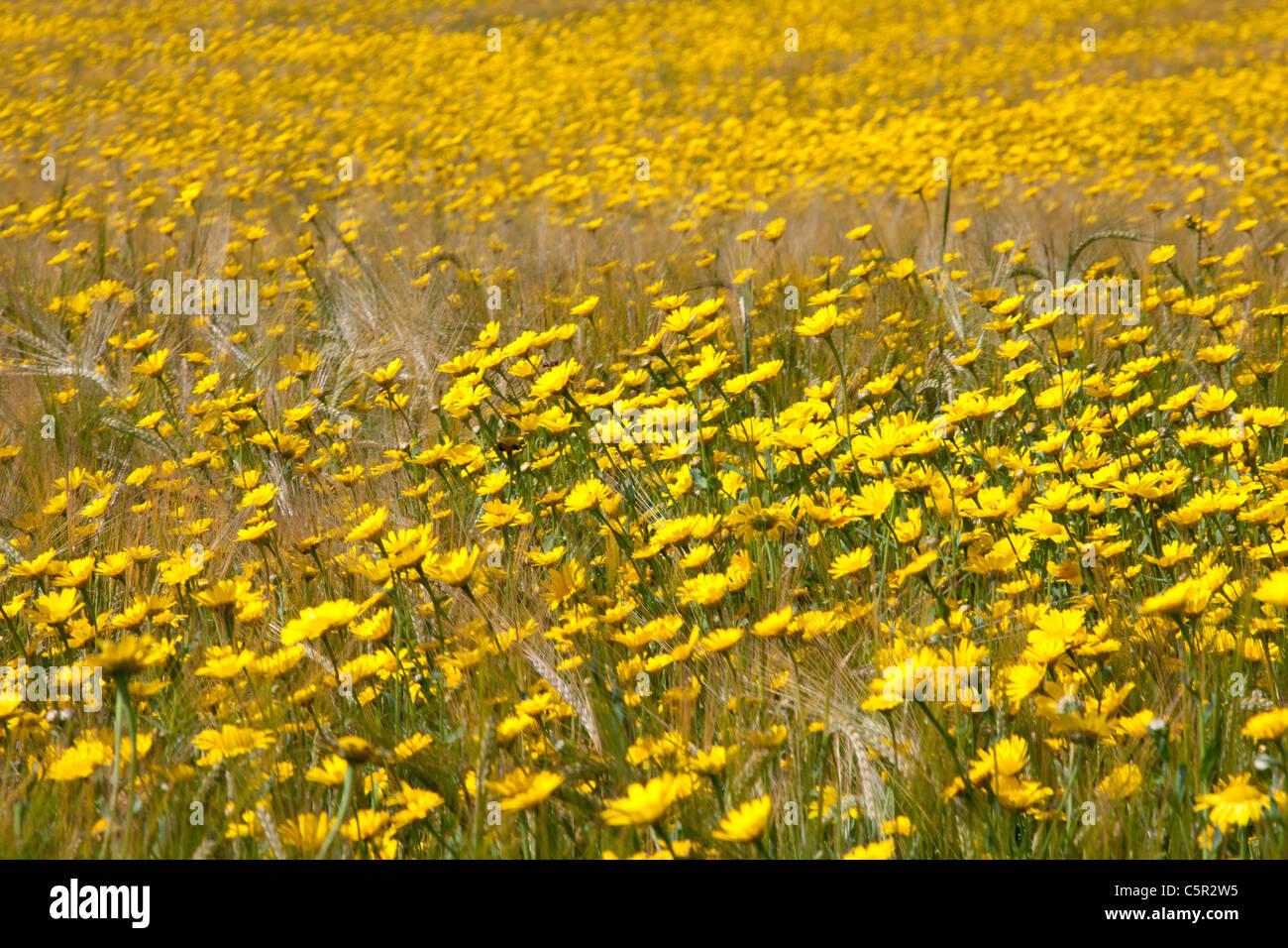 Belgium Flowers In Field In Stock Photos Belgium Flowers In Field
